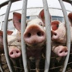 Pigs suffering