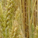 cropped-Wheat_1.jpg