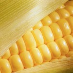 The Health Risks of Genetically Modified Corn
